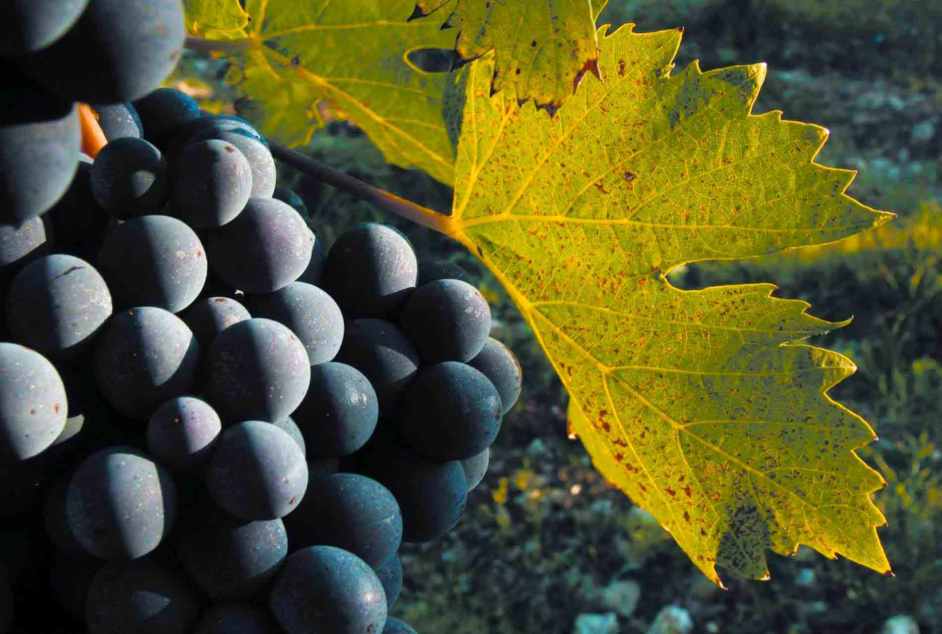 vinauta-uva